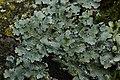 Net-marked Parmelia - Parmelia sulcata (40295402462).jpg