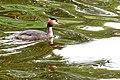 Netherlands-4637 - Great Crested Grebe (12171720016).jpg