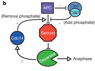 Securin - Figure 3: Network diagram with feedback loops to generate switch-like activation of anaphase