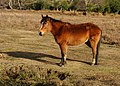 New Forest Pony Dorset-3.jpg