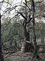 Niedersachsen Otternhagener Moor Markanter BaumJG.jpg