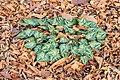 Nieuw blad van Cyclamen hederifolium tussen herfstbladeren van bomen. (d.j.b.) 02.jpg