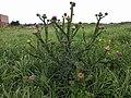 Noordwijk - Echte wegdistel (Onopordum acanthium) v2.jpg