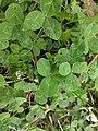 Noordwijk - Witte klaver (Trifolium repens).jpg
