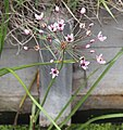 Noordwijk - Zwanenbloem (Butomus umbellatus).jpg