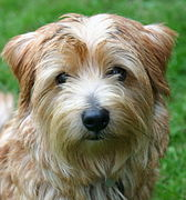 Norfolk-terrier.JPG