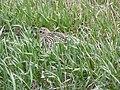 North America's Largest Shorebird (8597167555).jpg