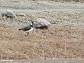 Northern Lapwing (Vanellus vanellus) (48088928883).jpg
