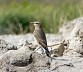 Northern Wheatear. Oenanthe oenanthe. 1st winter - Flickr - gailhampshire.jpg