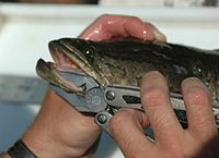 Northern snakehead fish in hands.