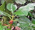 Notopleura leucantha? (14155595500).jpg