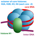 Nucleosome organization.png
