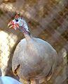 Numida meleagris at Giza Zoo by Hatem Moushir 1.JPG