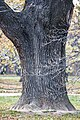Oak 2 Дуб.jpg