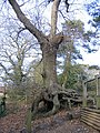 Oak tree in 'The Dell', Framingham Earl - geograph.org.uk - 123983.jpg