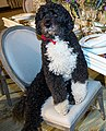 Obama family pet Bo sits at a table in the State Dining Room of the White House, 2014.jpg