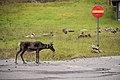 Obedient reindeer.jpg