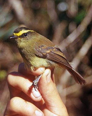 Ochthoeca - Yellow-bellied chat-tyrant (O. diadema)