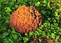 Old Giant puffball Calvatia gigantea.jpg