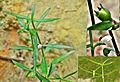 Oldenlandia diffusa.jpg