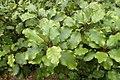 Olearia paniculata kz1.jpg