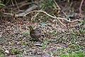 Olive sparrow (46092934254).jpg