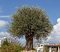 Olive tree in a herb garden in Polis, Cyprus.jpg