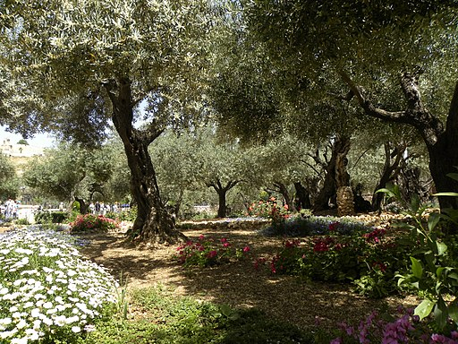 Olive trees in the traditional garden of Gethsemane (6409590197)