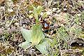 Ophrys ciliata.jpg