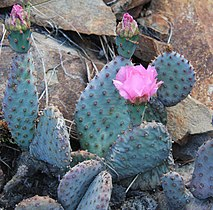 Opuntia basilaris beavertail cactus close.jpg