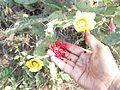 Opuntia ficus-indica (12).JPG