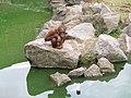 Orang-utan at Dublin Zoo - geograph.org.uk - 1220642.jpg