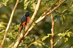 Banasura Sagar Dam - Image: Orange Minivet(Male) at Banasura Dam