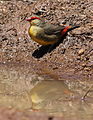 Orange breasted waxbill, Amandava subflava, at Suikerbosrand Nature Reserve, Gauteng, South Africa (22747764144).jpg