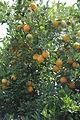 Orangers2 (Souss).JPG