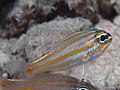 Orangespot cardinalfish (Ostorhinchus rubrimacula) (47503464432).jpg