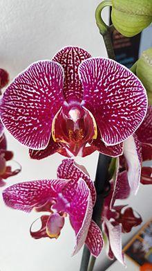 Fiore di una monocotiledone (orchidea Phalaenopsis sanderiana).Si notino i tre sèpali indietro, i petali, il labello, e la colonna in centro.