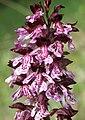 Orchis purpurea 120507.jpg