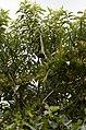 Oriental Darter Anhinga melanogasterfrom Ranganathittu Bird Sanctuary JEG4420.JPG