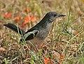 Oriental Magpie Robin (Copsychus saularis)- Female foraging in Kolkata I IMG 8021.jpg