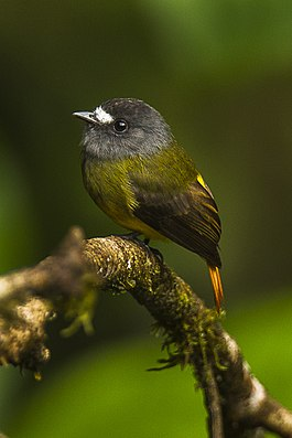 Ornate Flycatcher - South Ecuador S4E0633.jpg