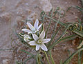 Ornithogalum trichophyllum 1.JPG