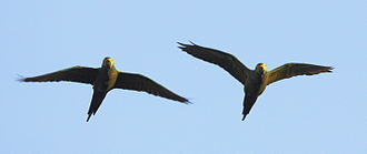 Red-bellied macaw - Two flying in Guyana