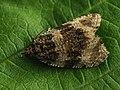 Orthotaenia undulana (40580964634).jpg