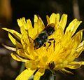 Osmia (subgenus, Helicosmia) sp. - Flickr - S. Rae.jpg
