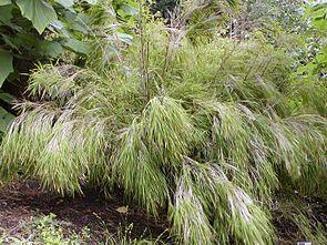 Otatea acuminata im San Francisco Botanical Garden.