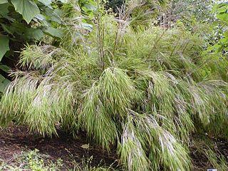 <i>Otatea</i> genus of plants