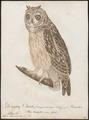 Otus brachyotus - 1800-1812 - Print - Iconographia Zoologica - Special Collections University of Amsterdam - UBA01 IZ18400199.tif