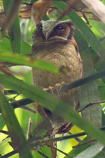 File:Otus sagittatus - Kaeng Krachan.jpg