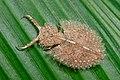 Owlfly larva (Ascalaphidae, Neuroptera) (6801861092).jpg